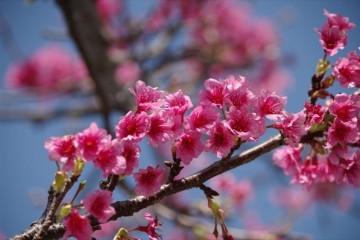 okinawa cherryblsoom
