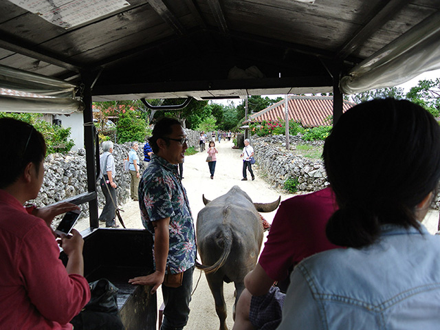 taketomi island Buffalo tour