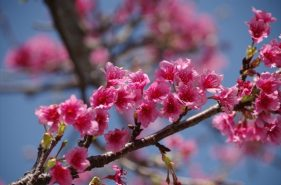 The Earliest Cherry Blossom Viewing in Japan!  All You Need to Know about Okinawan Sakura Events 【2016 Edition】