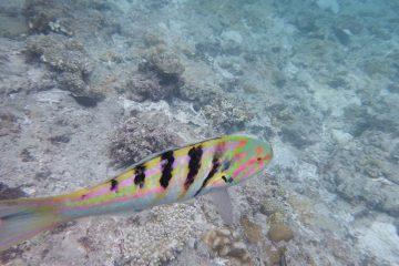 akajima-fish