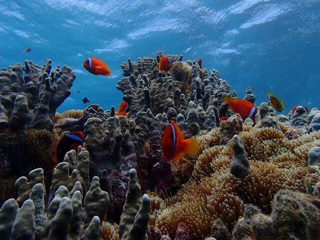 宮古島シュノーケリング教室・熱帯魚とサンゴ