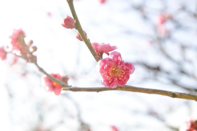 Okinawan Sakura