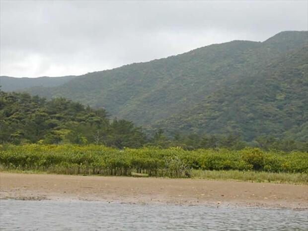 奄美のマングローブ