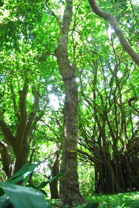 アカギの木