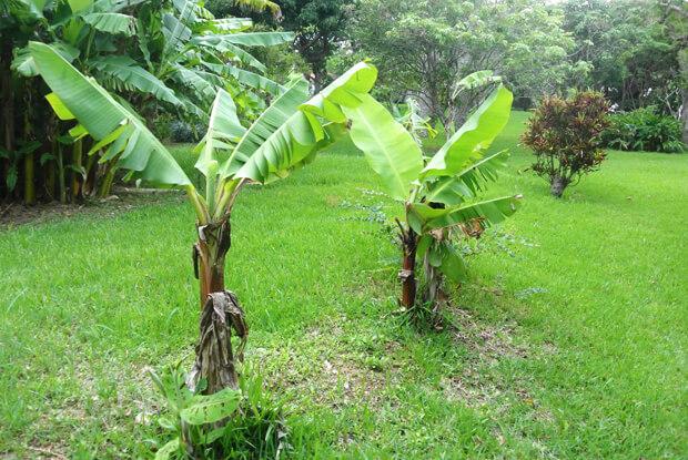 識名園のバナナ園跡