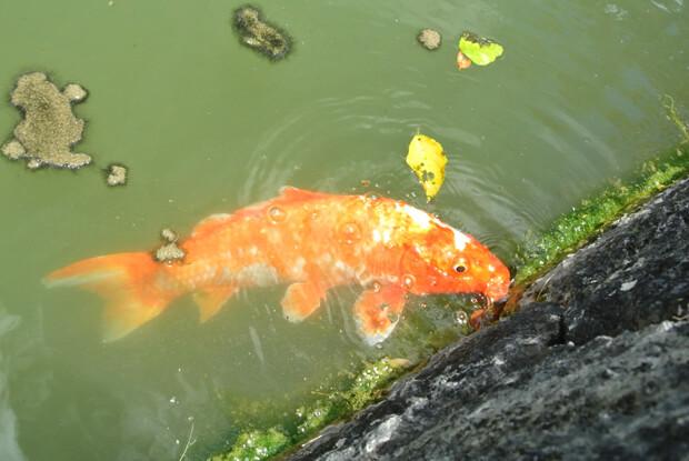 心字池の鯉