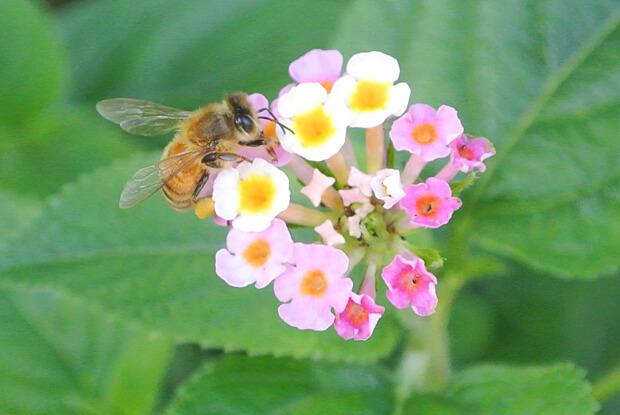 ランタナの花に集うミツバチ
