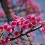 日本一早いお花見♪あったか沖縄の桜イベント情報まとめ【2018年版】