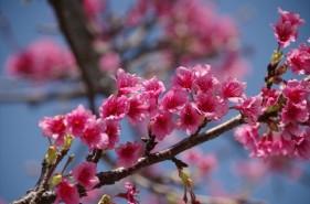 日本一早いお花見♪あったか沖縄の桜イベント情報まとめ【2021年版】
