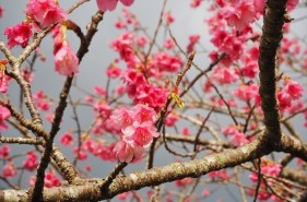 """""""ひとあし、お咲きに""""八重岳さくらまつりで春を満喫!"""