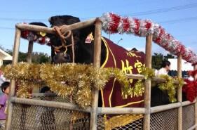 小さな島の一大イベント!夢の牛一頭が当たる♪黒島牛まつりに潜入!