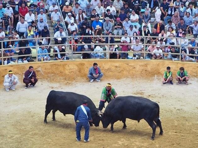 沖縄で一番アツイ場所!はじめての沖縄闘牛【観戦ガイド】
