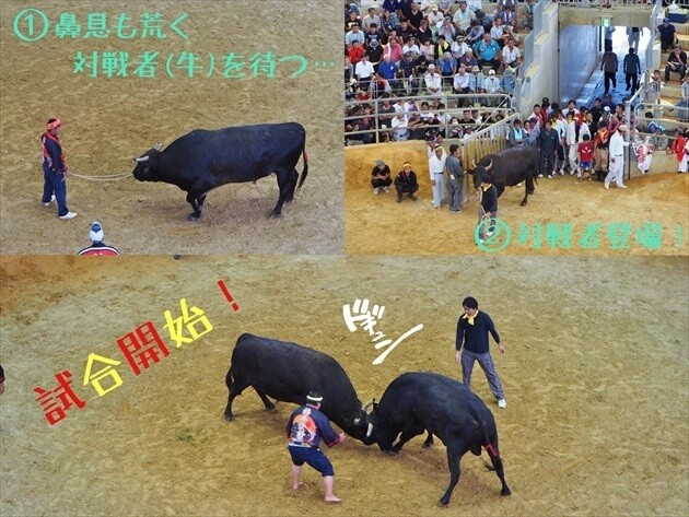okinawa-fighting-bull-05_R