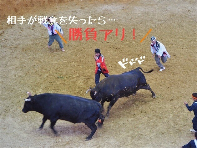 okinawa-fighting-bull-06_R
