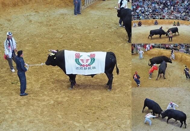 okinawa-fighting-bull-08_R