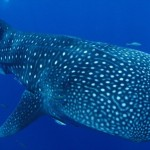 【260種以上の珊瑚がいる豊かな海】久米島ダイビングの魅力とは?