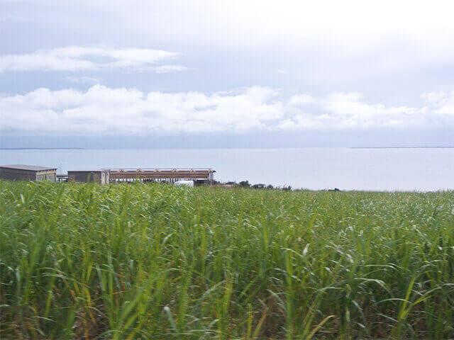 小浜島 さとうきび畑