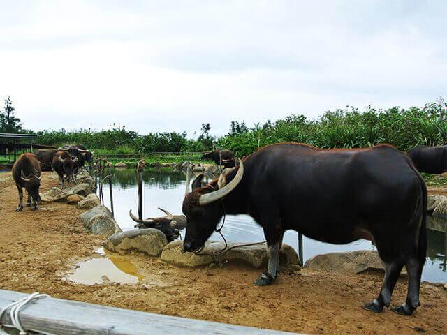 由布島 野生の水牛