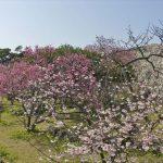 さくら&世界遺産♡イベントづくしの「今帰仁グスク桜まつり」へ行こう!