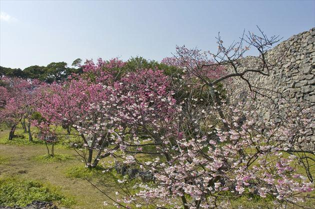 今帰仁グスク桜まつりイメージ