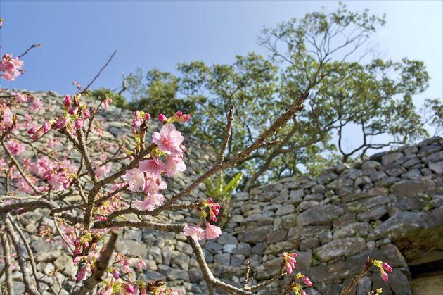 今帰仁城跡の桜