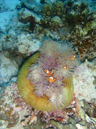 八重干瀬 珊瑚