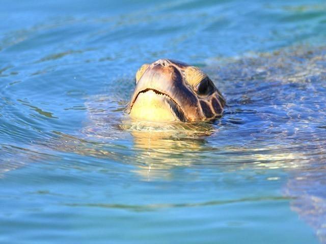 宮古島 ウミガメ カヤック 水面から顔をのぞかせるウミガメ