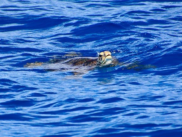 宮古島 ウミガメ カヤックで見えた
