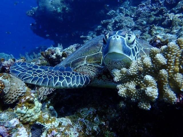 久米島ダイビング ウミガメ