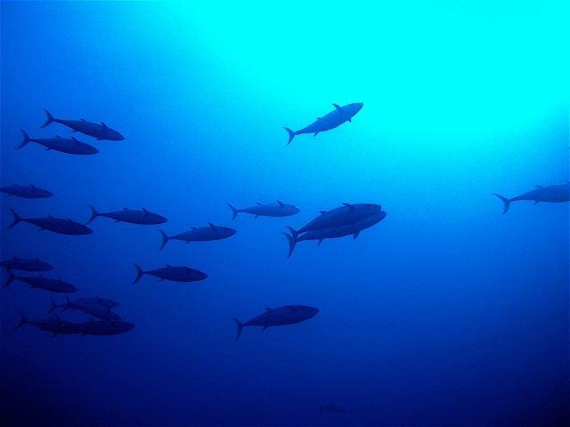 久米島 ダイビング 群れをなして泳ぐ魚