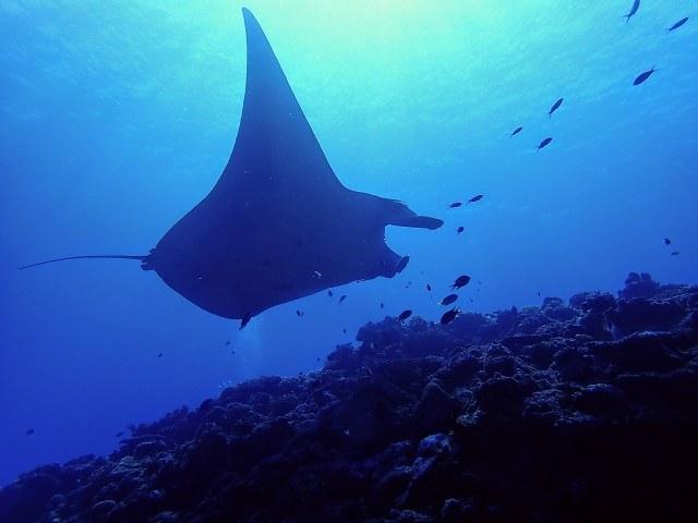 久米島 ダイビング 悠々と泳ぐマンタ