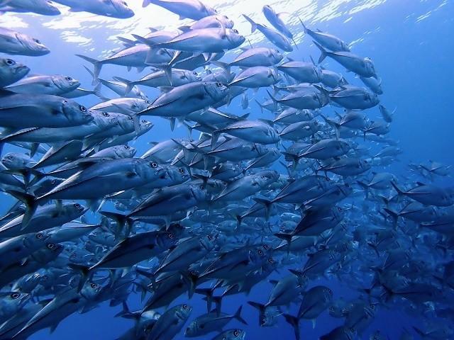 久米島 ダイビング ギンガメアジ