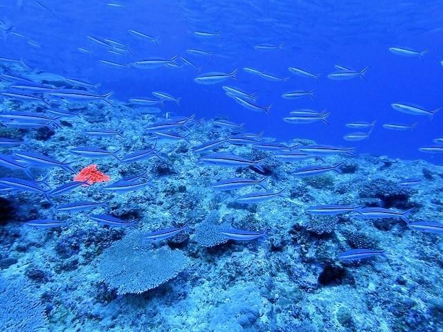 久米島 ダイビング サンゴ礁の中泳ぐ魚