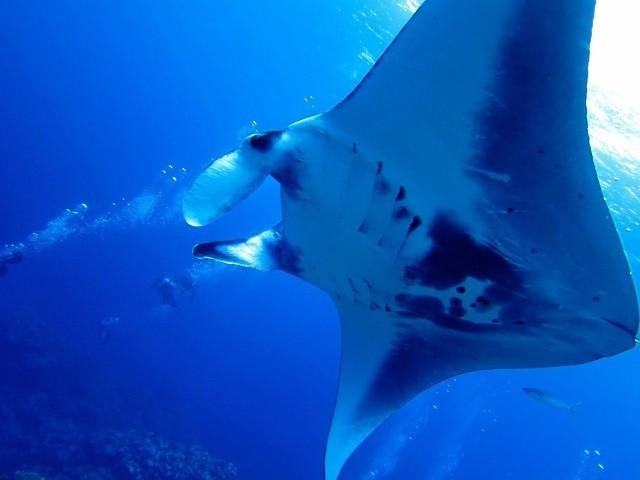 久米島 ダイビング 悠々と泳ぐマンタのアップ