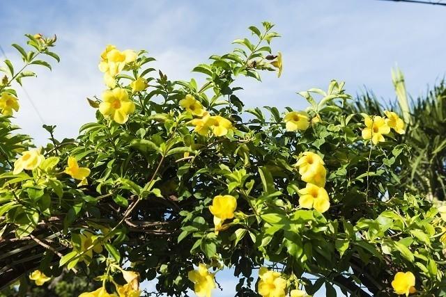 沖縄 花 アラマンダ