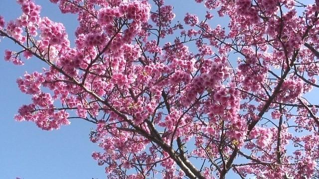 沖縄 花 カンヒザクラ