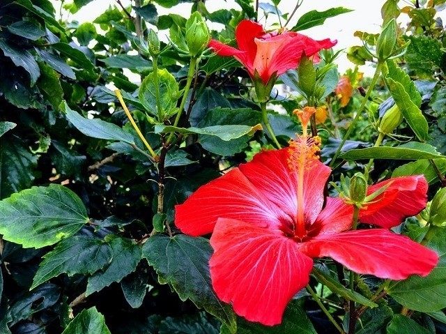 沖縄 久米島に咲いていた アカバナ―