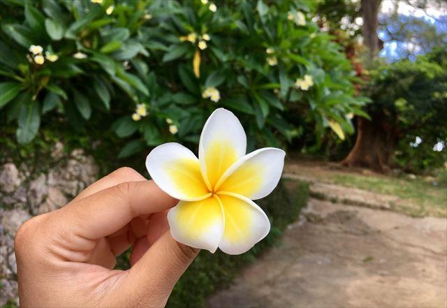 沖縄 首里金城石畳道に落ちていた プルメリア