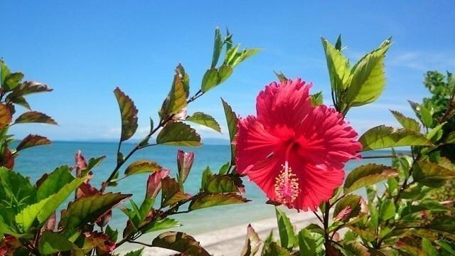石垣島ビーチホテルサンシャイン しゃにしゃにビーチに咲くあかばな―