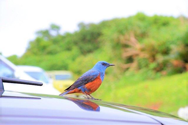果報バンタ 車の上に止まっていた美しい野鳥