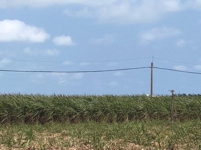 久米島 黒糖 サトウキビ畑