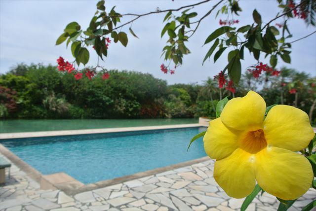 沖縄 高級ホテル シギラベイサイドスイート アラマンダ プールサイドに咲くアラマンダ