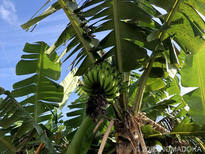 沖縄 移住 沖縄市 コザ 自然 バナナ