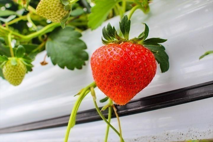 美らイチゴ