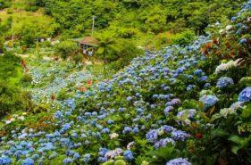 斜面を彩る一面の紫陽花「よへなあじさい園」へ行こう♪見ごろ・カフェ情報もあり
